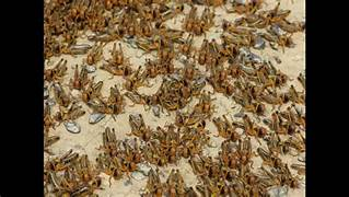 Video – Locusts Swarm Africa – It's A Biblical Plague!